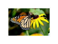 Monarch - Black-Eyed Susan